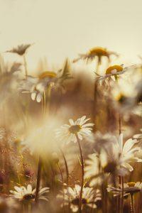 Prestekrage blomster